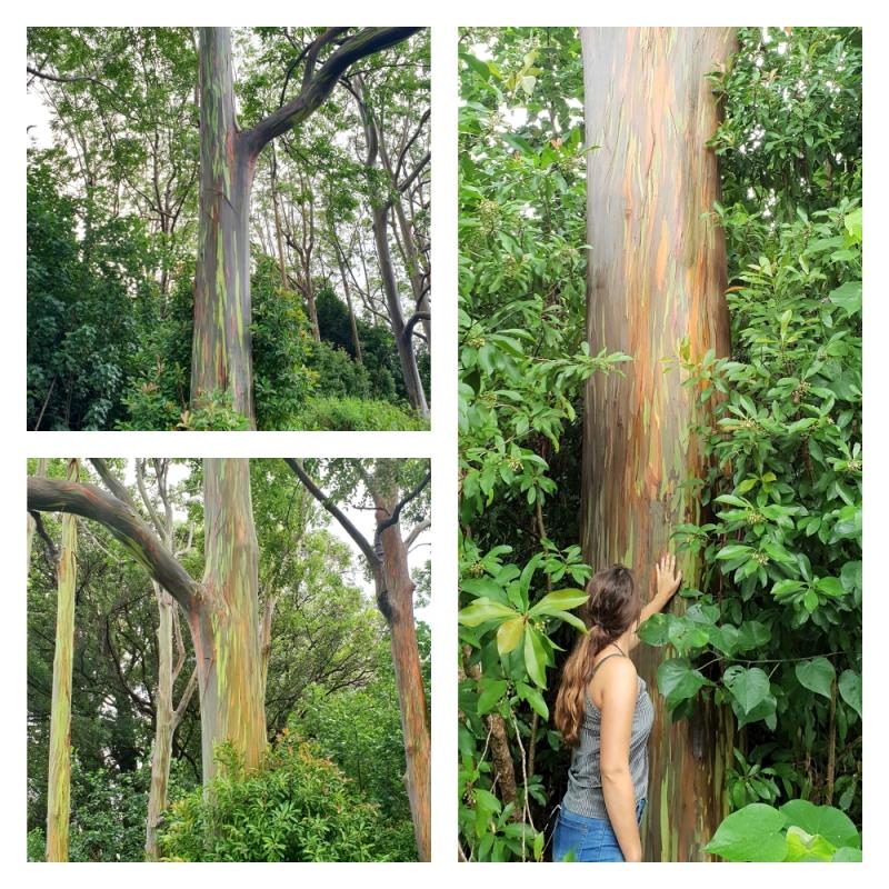 Eucalyptus Trees tijdens Road to Hana