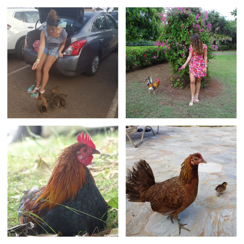 Kippen op Kauai